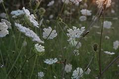 Queen Anne's Lace cosmos (ΞSSΞ®®Ξ) Tags: flowers pentax cosmos k5 ξssξ®®ξ