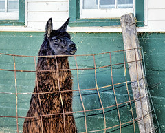 Llama on the Lookout (Explored) (Wes Iversen) Tags: animals wisconsin fences farms llamas farmanimals odc nikkor18300mm ourdailychallenge vision:text=057