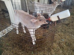 Baby calves (J. Nisly) Tags: cattle cows kansas calf 2012 brownswiss dairycattle