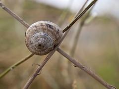 Cruce de caminos (Crossroad). (cachanico) Tags: snail olympus crossroad lumaca escargot teruel caracol aragn zd1454 crucedecaminos e420 cachanico