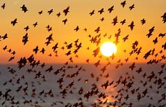 Starlings (Alan MacKenzie) Tags: sunset birds sussex brighton wildlife starlings brightonpier tuition murmuration wildlifewednesday