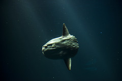Eclipse (eCHstigma) Tags: fish animals aquarium monterey nikon wildlife montereybayaquarium pacificgrove sunfish 50mmf14 seacreature oceanlife d600