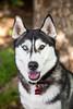 Athena (Gertrude139) Tags: blackandwhite dog smile happy husky pretty siberianhusky sibe bieyed