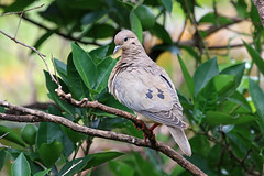IMG_2427 Eared Dove (Cliff Buckton) Tags: argentina eareddove