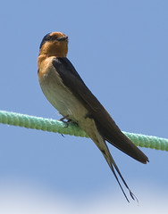 Welcome Swallow (Ruahine Tramper) Tags: newzealand bird native rope 300mm welcome swallow