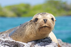 "_DSC5783      ""Galapagos Sea Lion"" ""Leon   14k (ChanHawkins) Tags: sea de galapagos april pm marino bay"" 11"" lion"" ""leon ""galapagos galapagos"" ""thurs ""isabellaelizabeth"