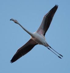DSC_7609.jpg (Ferraris Clemente) Tags: sardegna wild birds sardinia uccelli pinkflamingo olbia stagno fenicotterirosa