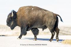 Buffalo in Road in Summer Antelope Island State park (Bower Media) Tags: road winter cars utah buffalo roadsign bison antelopeislandstatepark crossingroad larrydonoso bowermedia larryadonoso photo©larryadonoso