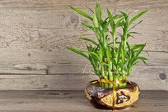Bamboo (***VR) Tags: life white plant flower green reed nature beauty grass leaves asian japanese healthy stem ceramics peace natural gardening steps chinese decoration grow culture scene bamboo east foliage container pot growth exotic harmony lucky vase flowerpot medicine symbols ornate relaxation spa healthcare stalk tranquil potted treatment purity wellbeing agreement zenlike woodbackground
