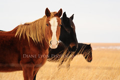 DSC_7626 copy (Diane Lyon Photography) Tags: wild horses horse oklahoma mood free peaceful serene prairie roam tallgrass roaming {vision}:{outdoor}=0964