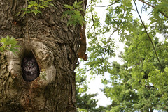 Where's kitty? (dela7) Tags: tree green leaves maple squirrel hole kitty bark knothole surprize whitesky duc754 downunderchallenge754