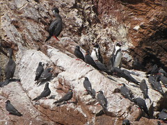 Penguins and Inca Terns