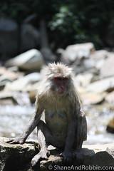 Japan-20130617-00765(Canon EOS 500D) (ShaneAndRobbie) Tags: japan monkey nagano jigokudani naganoprefecture japanesemacaque shimotakaidistrict joshinetsukogennationalpark