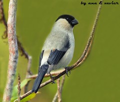 Priolo, Azores Bullfinch (Pyrrhula murina) - em Liberdade[WildLife] - Probably the most rare bird in Portugal