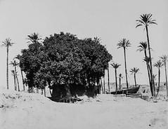 02_Egypt - Sycamore tree (usbpanasonic) Tags: muslim islam egypt culture nile cairo nil egypte islamic  caire moslem egyptians sycamoretree egyptiens