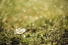 It's a wonderful world. (jrmllvr) Tags: flower color green nature fleur grass plante garden colorful bokeh jardin vert daisy marguerite paquerette couleur flou herbe helios 442 ambiance