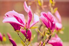 IMG_1654-1 (Vlad Cureliuc) Tags: summer flower tree yard canon vintage garden back leaf spring natural 85mm tulip magnolia 18