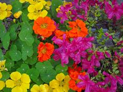 Colors of the Side Alley (Yorozuna / ) Tags: plant flower color colorful azalea   nasturtium