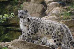 Brotherly love (Nicola Williscroft) Tags: zoo feline leopard snowleopard felid twycrosszoo felidae snowleopardcubs