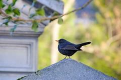 Merle noir (chogori20) Tags: black bird animal noir blackbird merle oiseau natue
