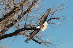 Bald Eagle swoops in from the trees