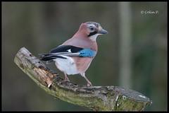 Jay (Garrulus glandarius) (Col-Page) Tags: bird nikon jay cheshire 300mm f28 marton d800 vr11