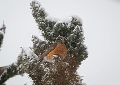 Robin in the snow (Goggla) Tags: new york winter snow bird robin island long montauk