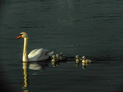A Swan family at Alster (Ashkan Kankash) Tags: family favorite bird nature colors beautiful beauty germany deutschland photography amazing nikon view shot awesome hamburg natur fine best excellent alster watter swa naturesfinest finegold lovelyphotos favoritesonly naturewatcher dazzlingshots