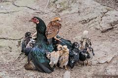 Large family (Tati@) Tags: family animals mamma chicks pulcini chioccia broodyhen