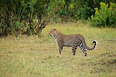 Watching! (Jambo53 (catching up)) Tags: nature mammal kenya wildlife natuur leopard predator eastafrica luipaard pantherapardus roofdier jambo53 oostafrika