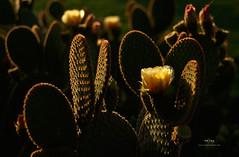 PricklyPear (prithakausik1) Tags: arizona flower yellow cacti pricklypear sonorandesert lastlight helios44 russianlense manualphotography m42lenses mflenses