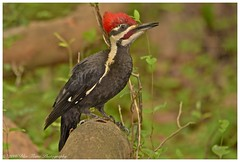 Woody Woodpecker  (Rodolfo Quinio) Tags: nature woodpecker wildlife woodywoodpecker pileatedwoodpecker annapolismd coth annearundelcounty nikond500 coth5 sunrays5