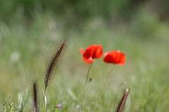 Bl (nrocher) Tags: flowers red food flower green nature fleurs rouge nikon bokeh vert flou futur d3200 bohke coquelike