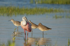 Roseate and Company (11Jewels) Tags: canon florida northbeach roseatespoonbill 70300 stpetersburgfl marbledgodwits ftdesotopark
