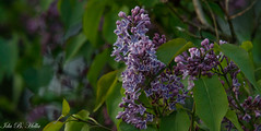 purple lilac in Sunset (IBH.photo) Tags: flowers sunset flower nature beautiful norway canon eos 350d spring nice purple bokeh lilac lovely