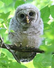 Delightful (slsjourneys) Tags: owl barredowlet
