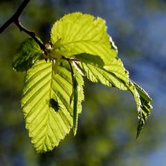 jak mody buk (stempel*) Tags: park shadow nature silhouette fly leaf poland polska national polen mucha polonia buk fagus cie dpn li drawa gambezia