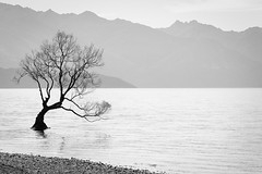 The Wanaka Tree (kelstar*) Tags: newzealand blackandwhite lake tree monochrome willow otago wanaka lakewanaka canon6d wanakatree