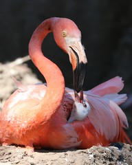 Caribbean Flamingo chick gets breakfast (Victoria Morrow) Tags: droh dailyrayofhope
