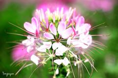 2016060809 (Yo Nguyen) Tags: cleome spiderflowers dalatcity hoatyip
