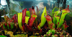 Heliamphora (nightsky76) Tags: plants carnivorous pitcherplants terrarium nepenthes heliamphora heterodoxa akopan folliculata sarracenioides