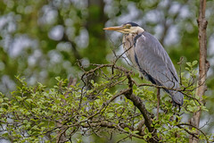 Great Blue Heron......... (kanaristm) Tags: blue bird eye heron germany grey wings europe stuttgart great gray beak feather lavender vaihingen greatblueheron sindelfingen frogroad