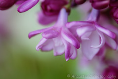 Double Flowering Liac (AncasterZ) Tags: plant flower lilac