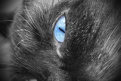 Cat Blue Eyes (danrookie) Tags: cat cateye