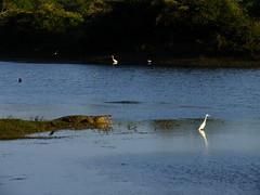Basking Croc #2 (lostforideas) Tags: danger crocodile egret basking