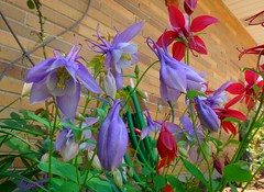 Our beautiful Columbines. (Lynn English) Tags: red lavender columbine