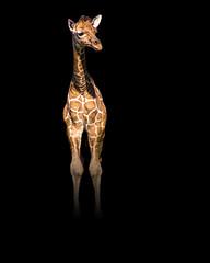 Welcome to Duval (Just BS) Tags: nature animal blackbackground photoshop canon mammal zoo florida wildlife jacksonville giraffe ungulate babyanimal aza hoofstock jacksonvillezoo babygiraffe reticulatedgiraffe zoosofthesouth itsazoooutthere zoosofnorthamerica