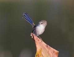 Hair raising (christinaportphotography) Tags: blue wild bird birds dof wind bokeh feathers free windy australia nsw centralcoast fairywren superbfairywren maluruscyaneus mtpenang