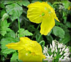 Freshly showered (Jan 130) Tags: plant flower ngc npc yellowflowers textured wildgarlic welshpoppy ramsen