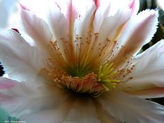 Cereus Peruvianus 2016 (Paolo Bonassin) Tags: flowers cactus flower cactaceae cereus succulente cereusperuvianus cactacee